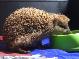 Winter insomnia did not prevent the hedgehog from enjoying spring
